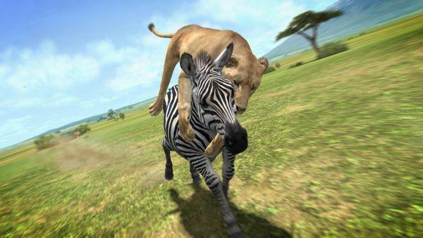 Leonessa che attacca zebra