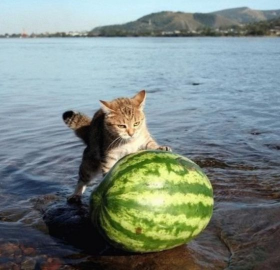 Gatto che spinge anguria